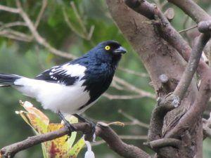 Magpie Tanager Itororo Brazil