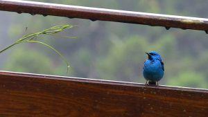 Blue Dacnis Itororo Brazil