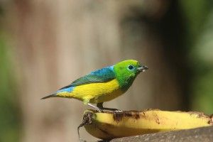 Blue-naped Chlorophonia Ecolodge Brazil