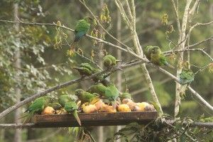 Marron-bellied Parakeets Itororo Brazil