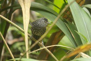 Dusky-tailed Antbird Itororo