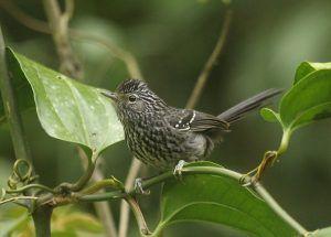 Dusky-tailed Antbird Brazil