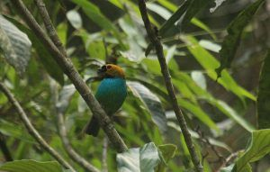 Gilt-edged Tanager Eco lodge Itororó