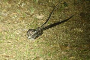 Long-trained Nightjar The Ecolodge Itororó