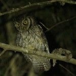 Tropical Screech Owl The Ecolodge Brazil Itororó