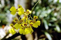 Atlantic Rainforest orchid